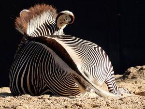 Zebra neemt zonnebad van Louise Hoffmann