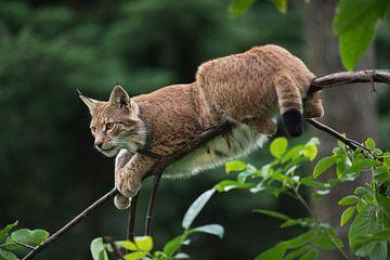 Luchs ( Lynx lynx ) ruht auf einem ziemlich dünnen Ast, Europa. von wunderbare Erde