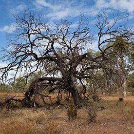 Boom in Undara vulkanisch park,  Australië. van Kees van Dun