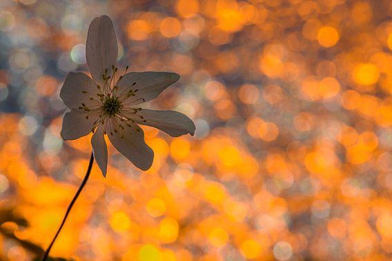 Spring flower van Richard Guijt