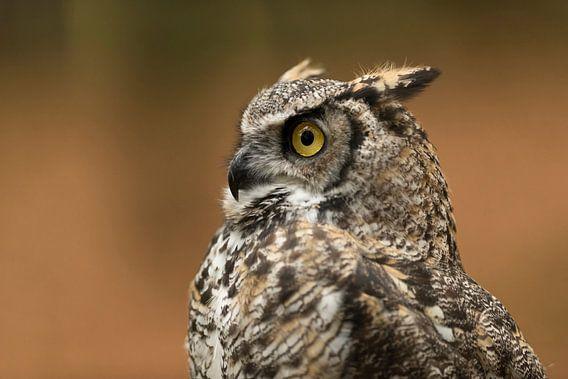 Great Horned Owl / Tiger Owl * Bubo virginianus *, headshot van wunderbare Erde