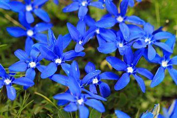 Blauwe bloemen van de voorjaarsgentiaan in Zwitserland van
