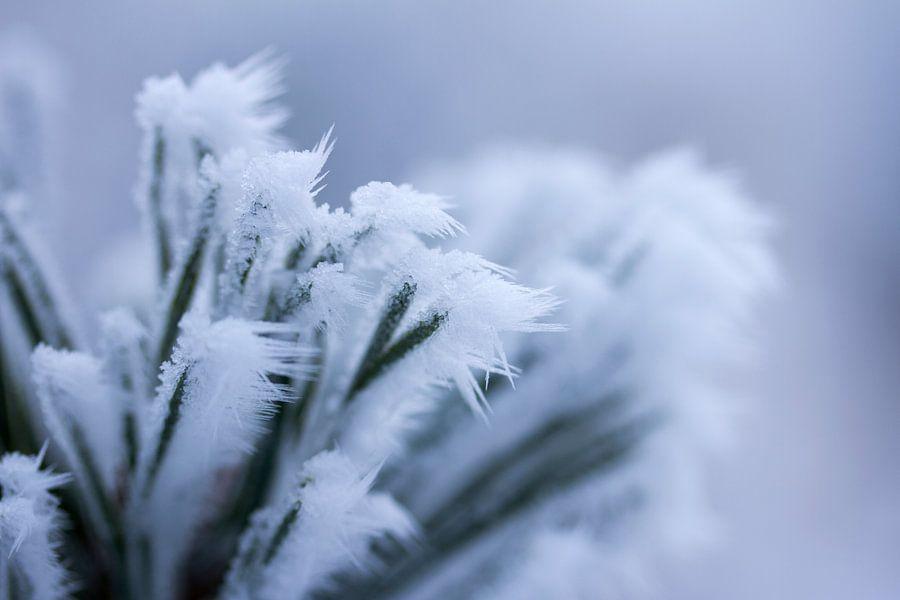 Een wit winterdetail, bevroren plant met ijspegeltjes