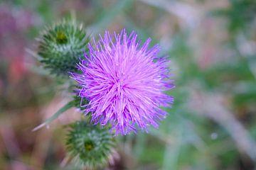 Makro-Distelpflanze Natur von Tessa Selleslaghs