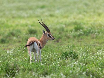 Eine Gazelle nur in der Serengeti von OCEANVOLTA