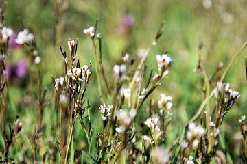 Capsella bursa-pastoris (Hirtenbörse) von Ingrid Bargeman