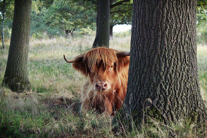 Schotse hooglander van Laura van Drogen