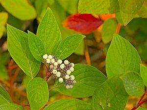 Beeren des weißen Hartriegels von Kristof Lauwers