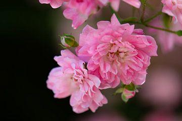rosa Minirosen von Tania Perneel