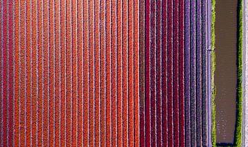 bloeiend tulpenveld van boven van Barend Koper