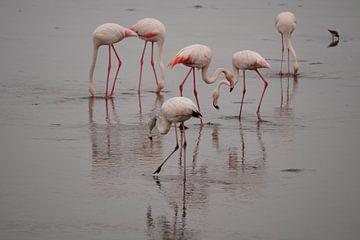 Voedende Flamingo's van Erna Haarsma-Hoogterp