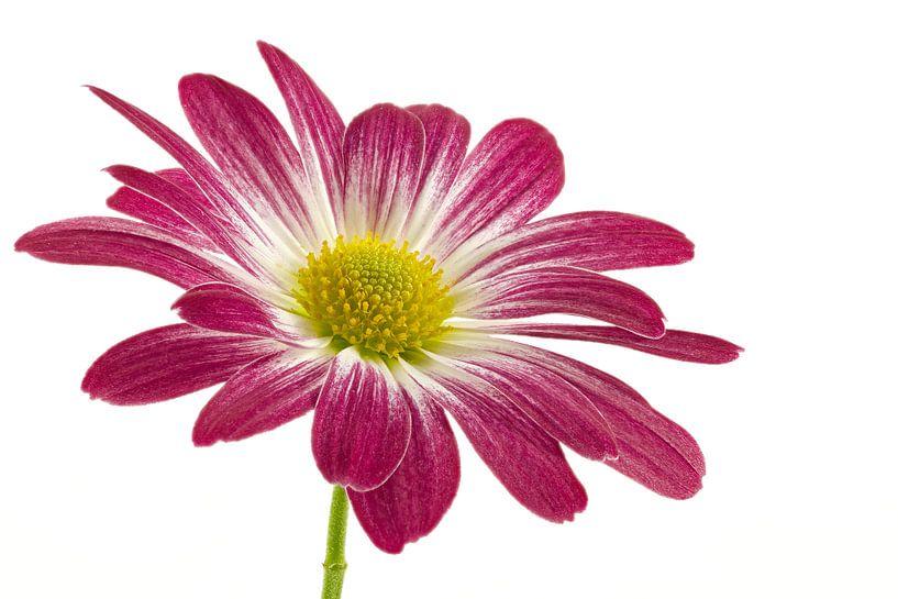 Chrysant / Chrysanthemum van Tanja van Beuningen