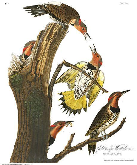 Gouden Grondspecht van Birds of America