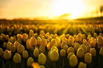 Tulpen in het gouden uur van Jim Looise