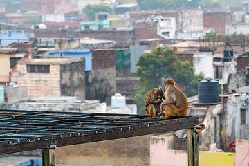 Twee apen vlooien elkaar terwijl een klein aapje toekijkt, in Agra India. van Twan Bankers