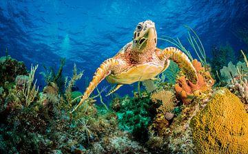 Karetschildpad zwemmen door middel van het Caribisch gebied rif, Jan Abadschieff van 1x
