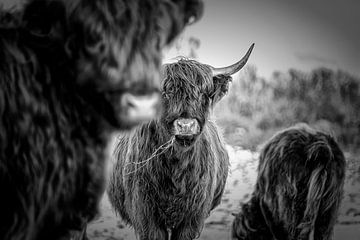 Schotse Hooglanders 4 van Jeanien de Gast