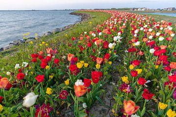 tulpen op een eiland in Zeewolde Flevoland. van Robin van Maanen