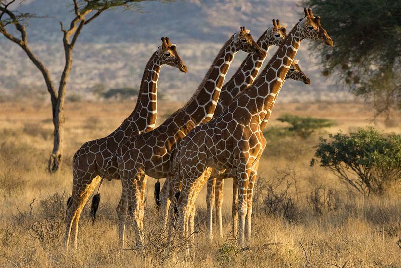 Giraffen van Gerwin Hoogsteen