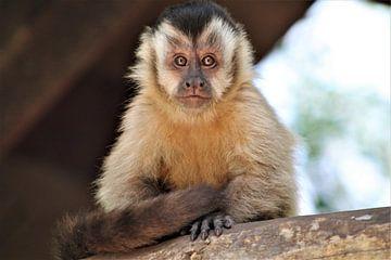 aap zit lekker rustig te kijken van Christiaan Van Den Berg