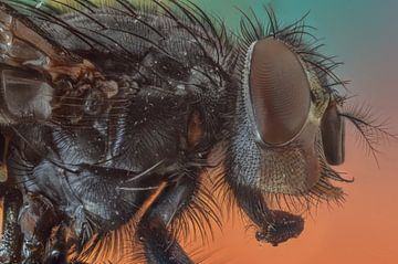 Fliege 1(extremes Makro) von Maurice Jonas