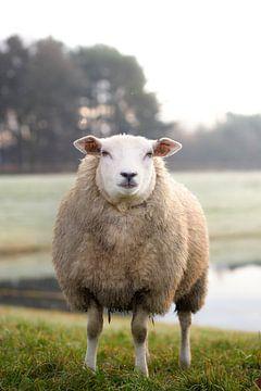 Schafe von Kristof Ven