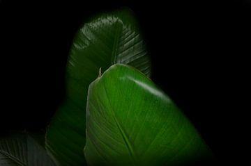 strelitzia nicolai close-up