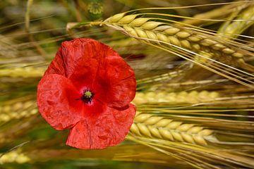 Een papaverbloesem in een korenveld van Ulrike Leone
