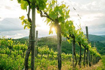 Schöne Reben in der Toskana von Natascha Teubl