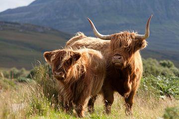 Koe, Schotse Hooglanders, Schotland van Desiree Tibosch