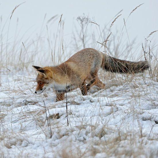 Red Fox ( Vulpes vulpes ) hunting in snow