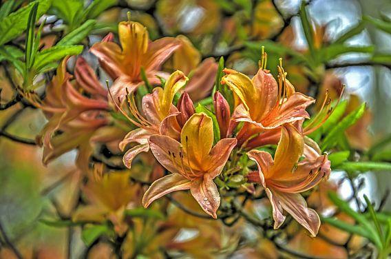 Oranje rhododendron