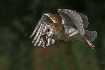 Fliegende Schleiereule mit einer gefangenen Maus. von Albert Beukhof
