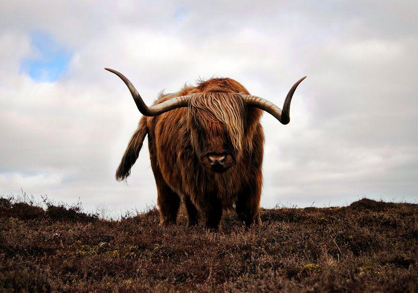 Schotse Hooglander van Lisette Breur