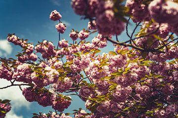 Bloesems roze 01 van FotoDennis.com