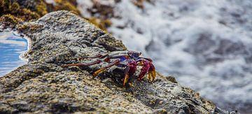 Kleurrijk krabbetje van Hugo Braun