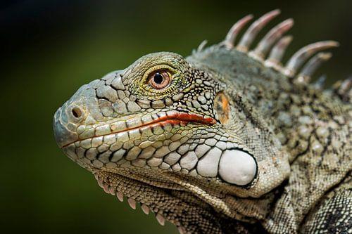 Groene leguaan - iguana