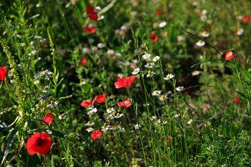 Mohnblumen von Thomas Jäger