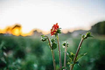 Rode Dahlia met waterdruppels van Wilko Visscher
