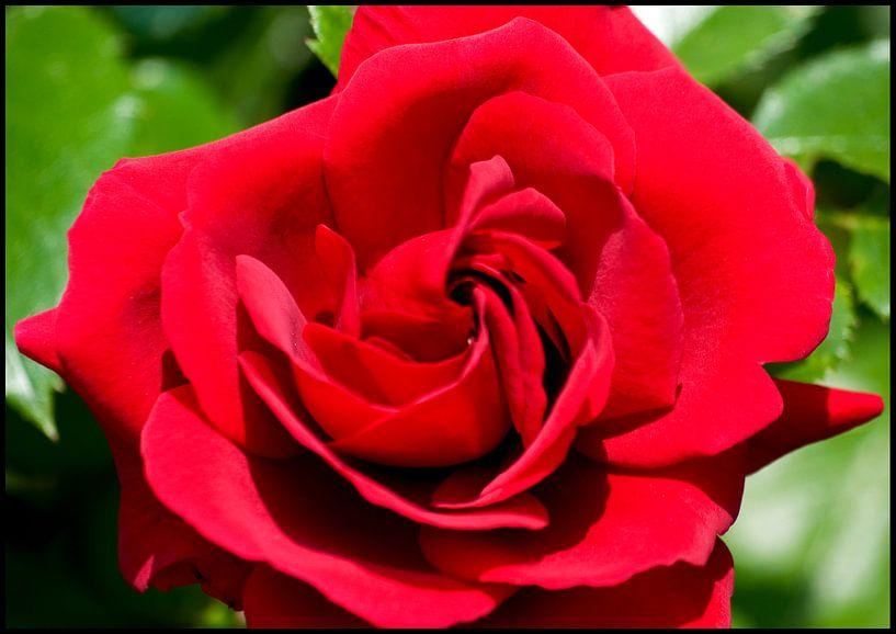 Bloemen - Roos van Anuska Klaverdijk
