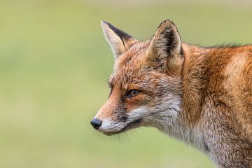 Portret van een vos sur Bas Ronteltap