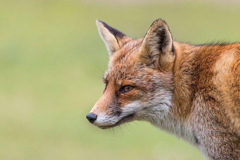 Portret van een vos van Bas Ronteltap