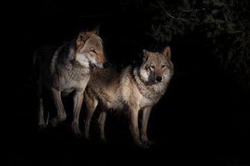 un couple de loups, mâle et femelle, dans l'obscurité du renard, les buissons noirs en arrière-plan, sur Michael Semenov