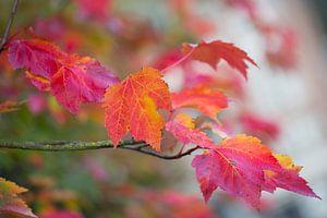 Herfstbladeren in roze-rood