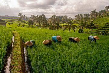 Arbeiders in rijstveld Bali met zonsopkomst