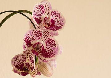 Panter op de orchidee van J..M de Jong-Jansen