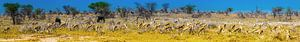 Panorama von Springbock -Antilope in Etosha Nationalpark weiden, Namibia