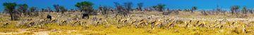 Panorama van grazende springbok antilopes in Etosha Nationaal Park, Namibië van Rietje Bulthuis