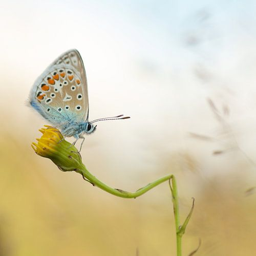 Icarusblauwtje op geknakte paardenbloem. Vlinder van