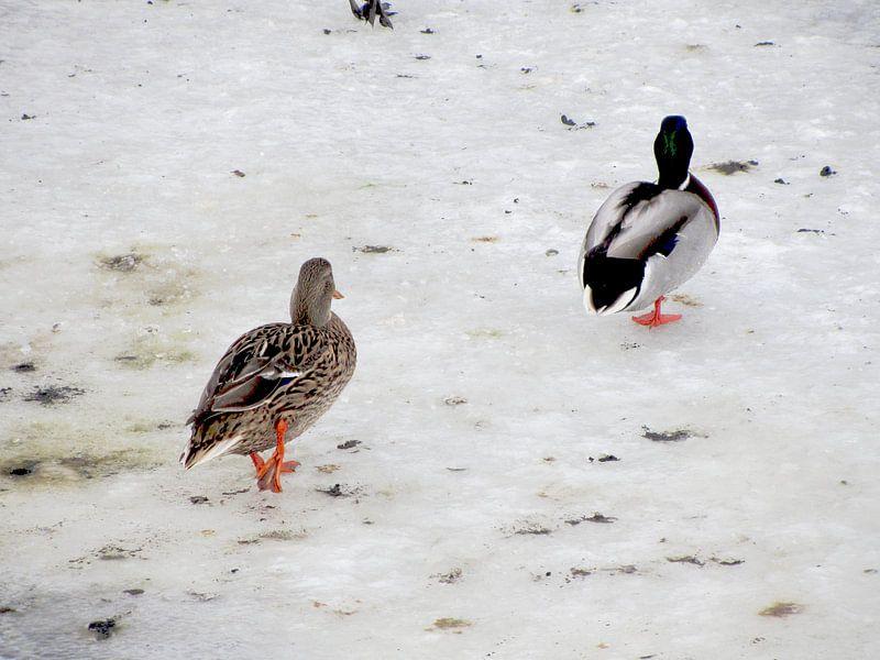 Eenden op het ijs bij de vijver van Nicky`s Prints